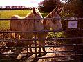 Llansaint Donkeys.jpg