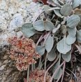 Lobbs buckwheat Eriogonum lobbii late-red flower detail.jpg