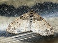 Lobophora halterata - The Seraphim - Лопастная пяденица серая (39146676690).jpg