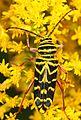 Locust Borer - Megacyllene robiniae, Julie Metz Wetlands, Woodbridge, Virginia - 12654010464.jpg