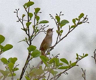 Savi's warbler - Singing from an alder tree