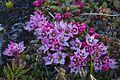 Loiseleuria procumbens in Abisko.jpg