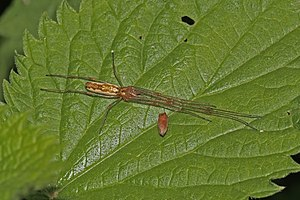 Long-jawed orb weaver - Female Tetragnatha montana, in Oxfordshire