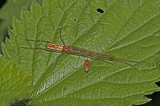<i>Tetragnatha montana</i> species of arachnid