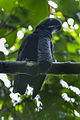 Long-wattled Umbrellabird - South Ecuador S4E8115 (16213159194).jpg