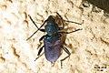 Longhorn beetle (NH266) (14569322353).jpg