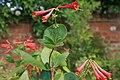 Lonicera-sempervirens-foliage.jpg