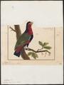 Lorius lori - 1775-1781 - Print - Iconographia Zoologica - Special Collections University of Amsterdam - UBA01 IZ18500292.tif