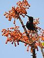 Loten's Sunbird Cinnyris lotenius Male DSCN0107 (11).jpg