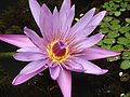 Lotus Flower at GSS.jpg