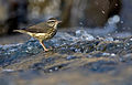 Louisiana-waterthrush-2.jpg