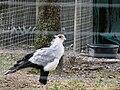 Lowry Park Zoo Secretarybird (Sagittarius serpentarius) by Lee.jpg