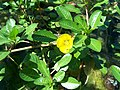 Ludwigia peploides peploides-1.jpg