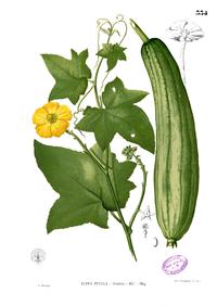Luffa aegyptiaca Blanco2.334