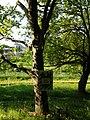 Lutsk, ботанічний сад, західний платан, 2016.jpg