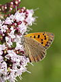 Lycaena phlaeas bottom MichaD.jpg