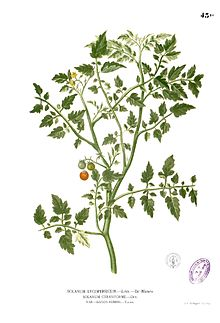 Lycopersicum philippinarum Blanco1.43b.jpg
