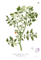 Lycopersicum philippinarum Blanco1.43b.png