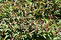 Lysimachia ciliata.jpg