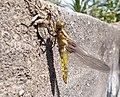 Métamorphose de libellule.jpg