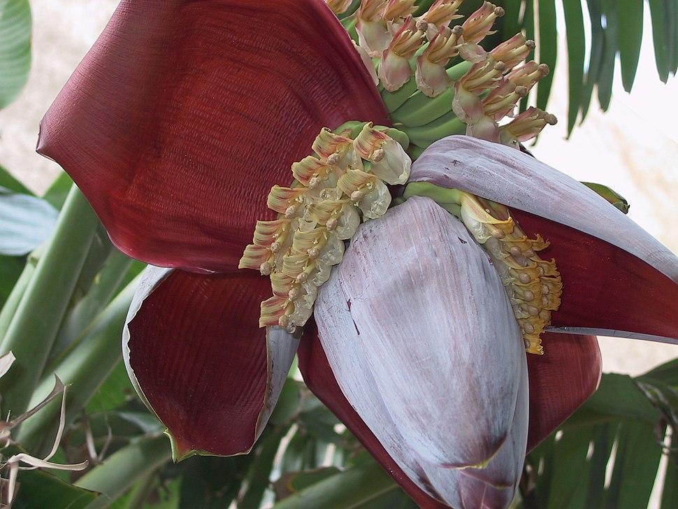 M. acuminata x balbisiana