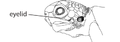 M3. Lower eyelid scales (V13c).png