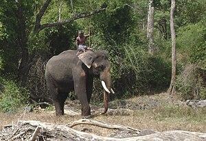 Kumki (elephant) - Kumki and mahout near bamboo thicket at Moyer River, Mudumalai National Park, India