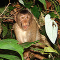 Macaca nemestrina, the Pigtailed macaque (11662798856).jpg