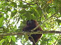 Macaco - Amazônia.JPG