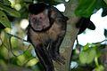 Macaco prego no Sumaré.jpg