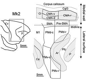 Macaque - Image: Macaque monkey's premotor areas