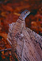 Madagascan Collared Iguana (Oplurus cuvieri) (10275116286).jpg