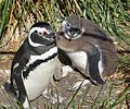 Magellanic Penguin with chick (5541490278).jpg