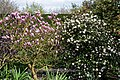 Magnolia and Viburnum at RHS Garden Hyde Hall, Essex, England.jpg