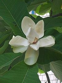 Magnolia obovata 02