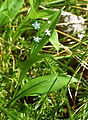 Maianthemum trifolium NPS-1.jpg