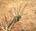 Maihueniopsis darwinii 03 ies.jpg