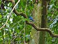 Malaysian Blue Flycatcher (Cyornis turcosus) (8077176171).jpg