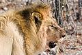 Male lion (3688070482).jpg