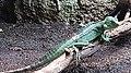 Male plumed basilisk (Basiliscus plumifrons).jpg