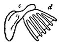 Malleus of Brachionus urceolaris.png