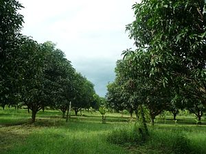 Grove (nature) - A mango grove.