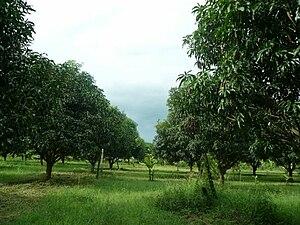 Muñoz, Nueva Ecija - Mango grove in Muñoz