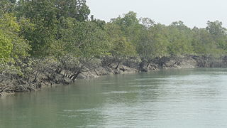 Mangrove and river in Sundarbans.JPG