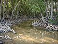 Mangrove des iles moucha.JPG