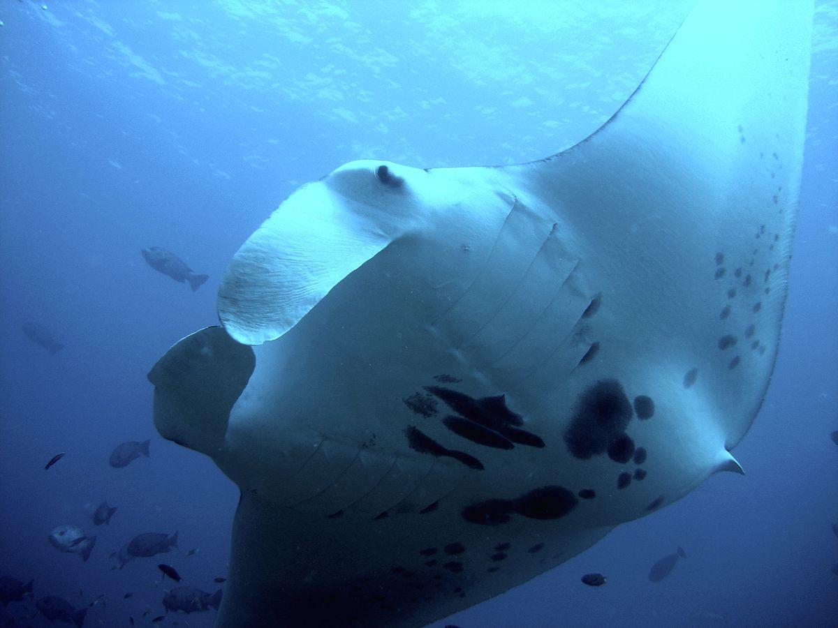 List Of Threatened Rays Wikipedia