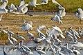 Many Egrets and Ibis.jpg