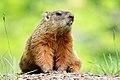 Marmota monax UL 18.jpg