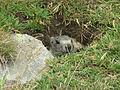 Marmotta al Passo del Nivolet.JPG