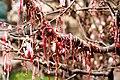 Martenitsa magnolia.jpg